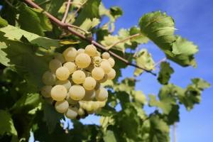 ▲株密度を上げ、収量を減らしブドウ果の品質を向上させている