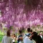 フィレンツェ_バルディーニ庭園の藤の花4_mako_kobayashi