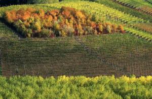 Gallina Barbaresco Vineyard
