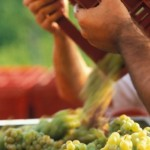 crushing grapes