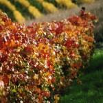 vineyard in fall colors