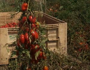 レーズィナ産トマト