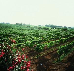 ▲サンタ・テレーザの畑