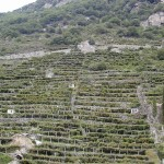 ▲山の斜面に広がるブドウ畑