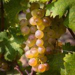 ▲樹齢約30年のグラッタマッコ・ビアンコのブドウ。ボルゲリで一番古いヴェルメンティーノの畑。